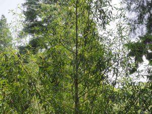 Manglietia yuyuanensis