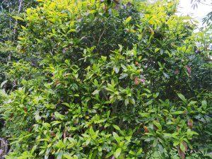 Magnolia virginiana 'Havener'?