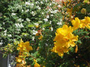 Hypericum 'Hidcote' and Jasminum officinale affine