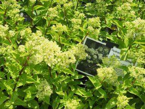 Hydrangea paniculata 'Little Lime'