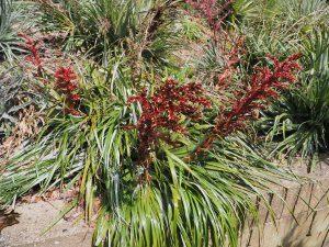 Puya dyckioides