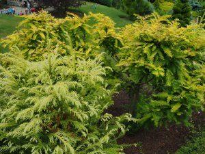 Cryptomeria japonica 'Sekkansugi' and Metasequoia glyptostroboides 'Gold Rush'