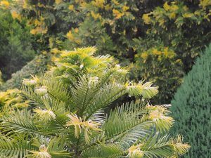 Wollemia nobilis and a very fine Calocedrus decurrens 'Aureovariegata'