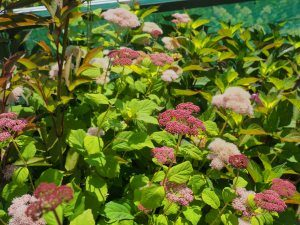 Hydrangea arborescens 'Eco Pink Puff'