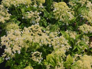 Hydrangea arborescens 'Emerald Lace'