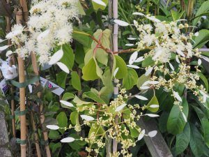 Schizophragma integrifolium 'Windmills'