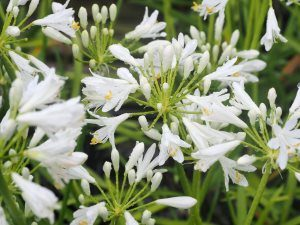Agapanthus 'Little Dutch White'