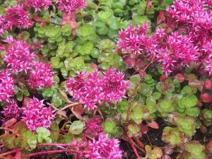"Sedum spurium ""Dragon's Blood"""