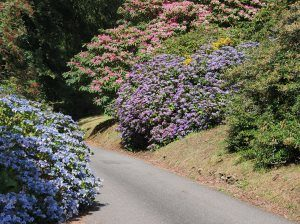 hydrangeas and Harrow Hybrid rhodos