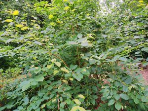 Lyonia ovatifolia