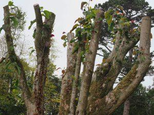 Magnolia sprengeri 'Diva' seedling