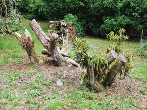 Rhododendon nobleanum