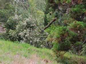 ilex oak