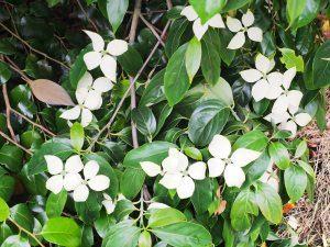 Cornus hongkongensis