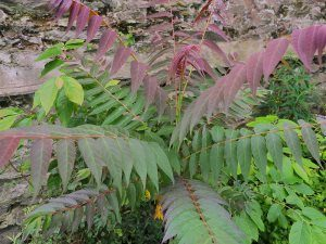 Ailanthus altissima 'Purple Dragon'