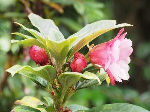 Rhododendron aperantum