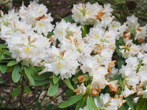 Rhododendron fortunei ssp. discolor