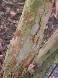 Clethra monostachya