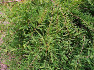 Taxodium distichum var. imbricatum 'Nutans'