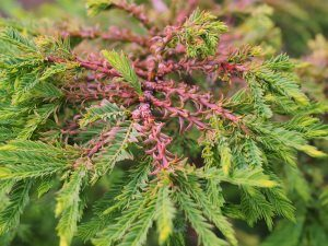 Taxodium distichum 'Hursley Park'