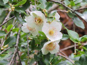 Eucryphia nymansensis 'Nymansay'