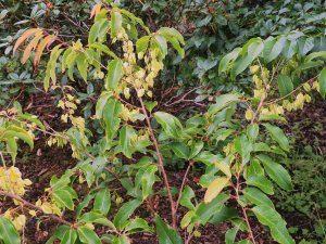 Halesia macgregori
