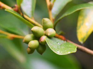 Magnolia laevigata