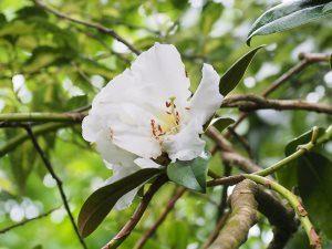 Rhododendron maddenii