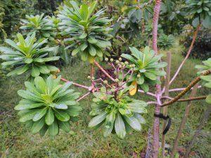Euphorbia stygiana 'Santamaria'