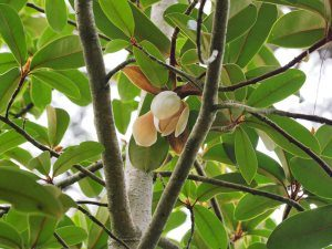 Magnolia kwangtungensis