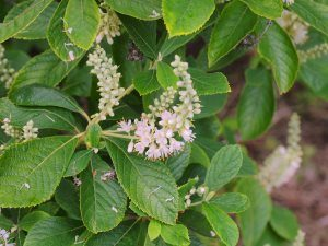 Clethra tomentosa 'Cottondale'