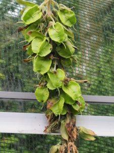 Melianthus villosus