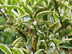 Cleyera japonica 'Fortunei'