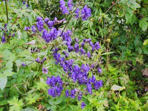 Aconitum 'Sparks Variety'