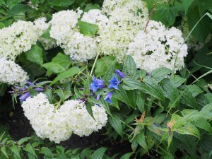 Hydrangea arborescens 'Annabelle' and Gentiana asclepiadea