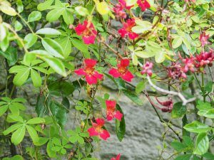 Tropaeolum speciosum growing in a Banksian rose