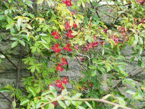 Tropaeolum speciosum growing in a Banksian rose