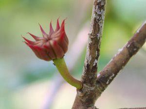 Illicium griffithii