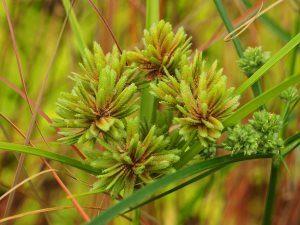 Cyperus eragrotis