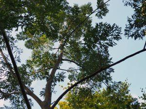 Pterocarya x rehderiana 'Fern Leaf'