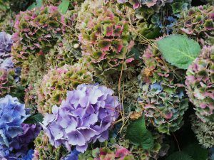 pinkish then changing to purple hydrangea