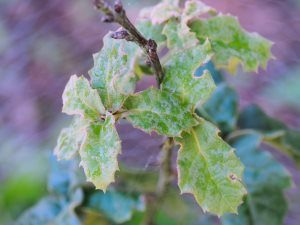 Quercus hypoxyantha