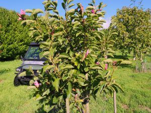 Magnolia 'Yakeo'