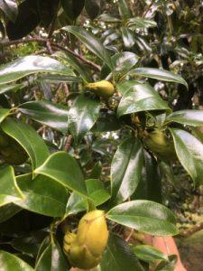 Magnolia nitida