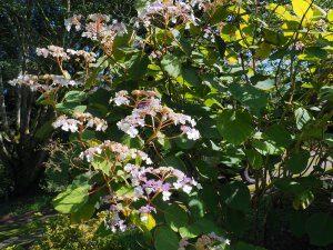 Hydrangea aspera var. robusta