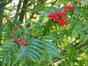 Sorbus commixta aff. var. sachalinensis (BSWJ 10958)