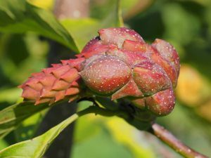 Magnolia 'Atlas' x 'Vulcan'