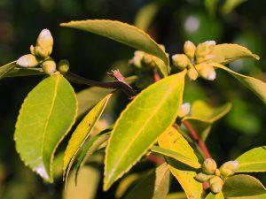 Camellia sasanqua 'Snow Flurry'