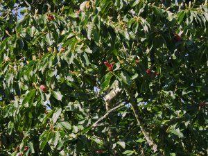 Magnolia sargentiana robusta and Magnolia mollicomata