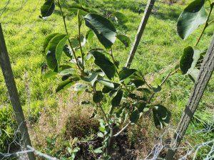 Magnolia sprengeri 'Dusky Pink'